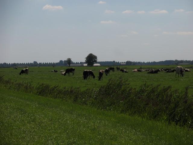 omgeving graz koeien 1