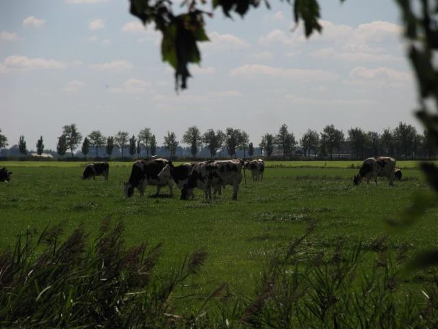 omgeving graz koeien 2